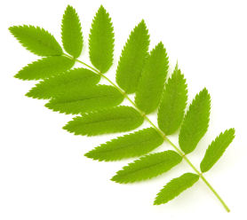 Mountain Ash Leaves Isolated On White Backgrond