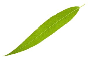 Willow leaf